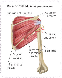 Shoulder and Rotator Cuff Muscles